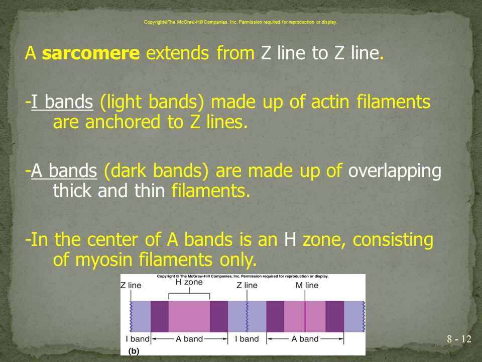 A sarcomere extends from Z line to Z line. -I bands (light bands) made up of actin filaments are anchored to Z lines. -A bands (dark bands) are made u