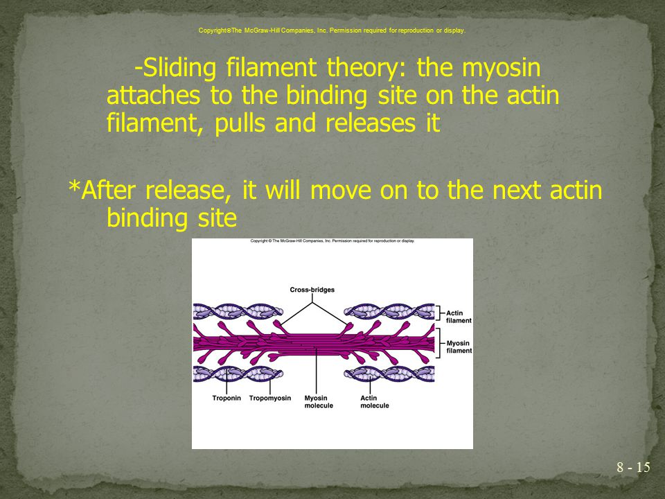 -Sliding filament theory: the myosin attaches to the binding site on the actin filament, pulls and releases it *After release, it will move on to the