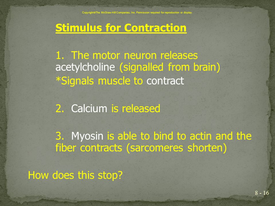 Stimulus for Contraction 1. The motor neuron releases acetylcholine (signalled from brain) *Signals muscle to contract 2. Calcium is released 3. Myosi