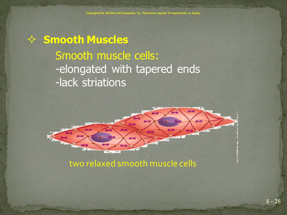  Smooth Muscles Smooth muscle cells: -elongated with tapered ends -lack striations 8 - 28 Copyright  The McGraw-Hill Companies, Inc. Permission requ