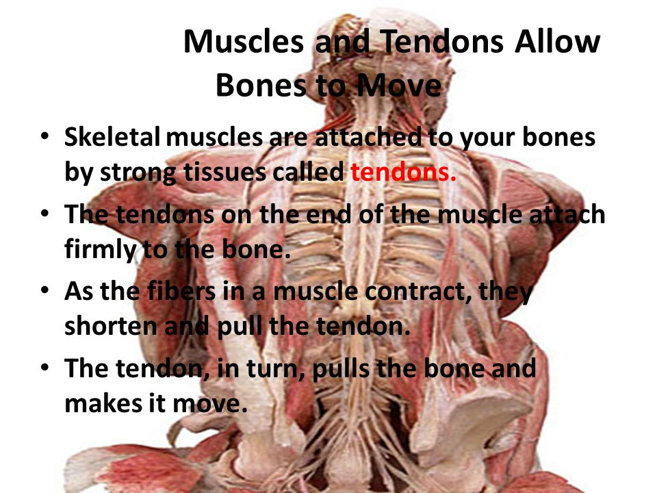 Skeletal Muscles and Tendons Allow Bones to Move Skeletal muscles are attached to your bones by strong tissues called tendons. The tendons on the end