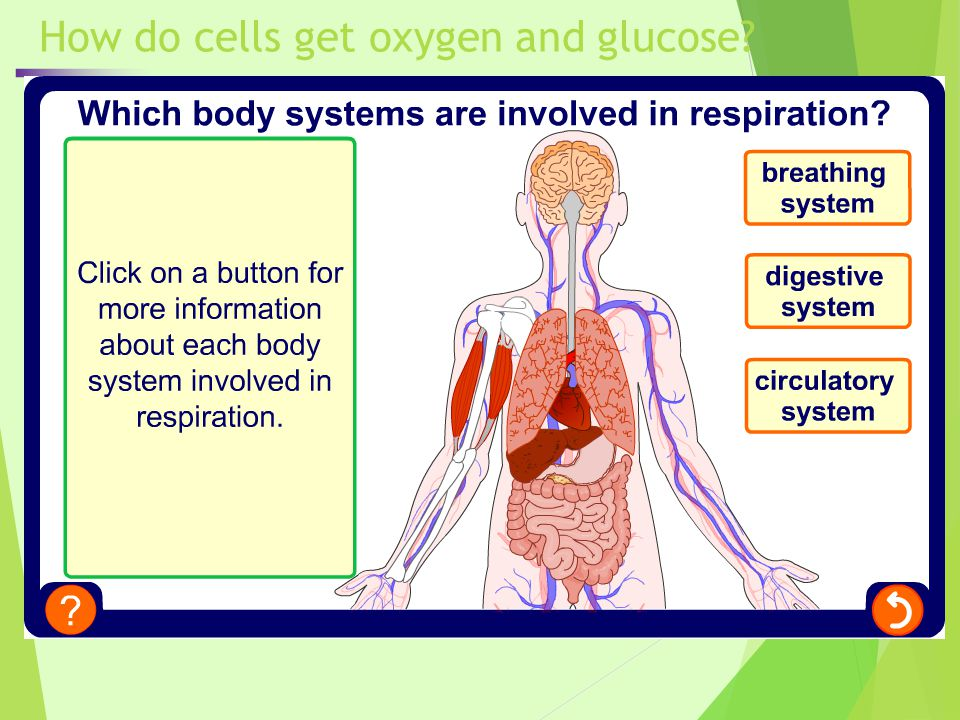 How is digested food used by the body.