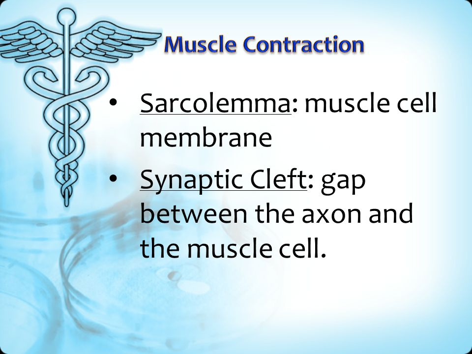 Sarcolemma: muscle cell membrane Synaptic Cleft: gap between the axon and the muscle cell.