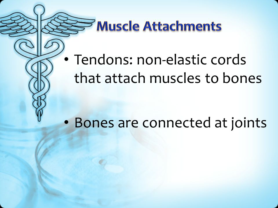 Tendons: non-elastic cords that attach muscles to bones Bones are connected at joints