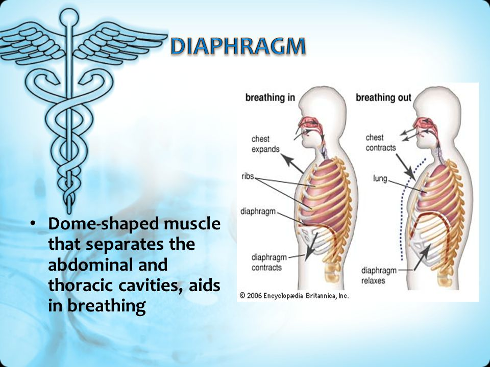 Dome-shaped muscle that separates the abdominal and thoracic cavities, aids in breathing
