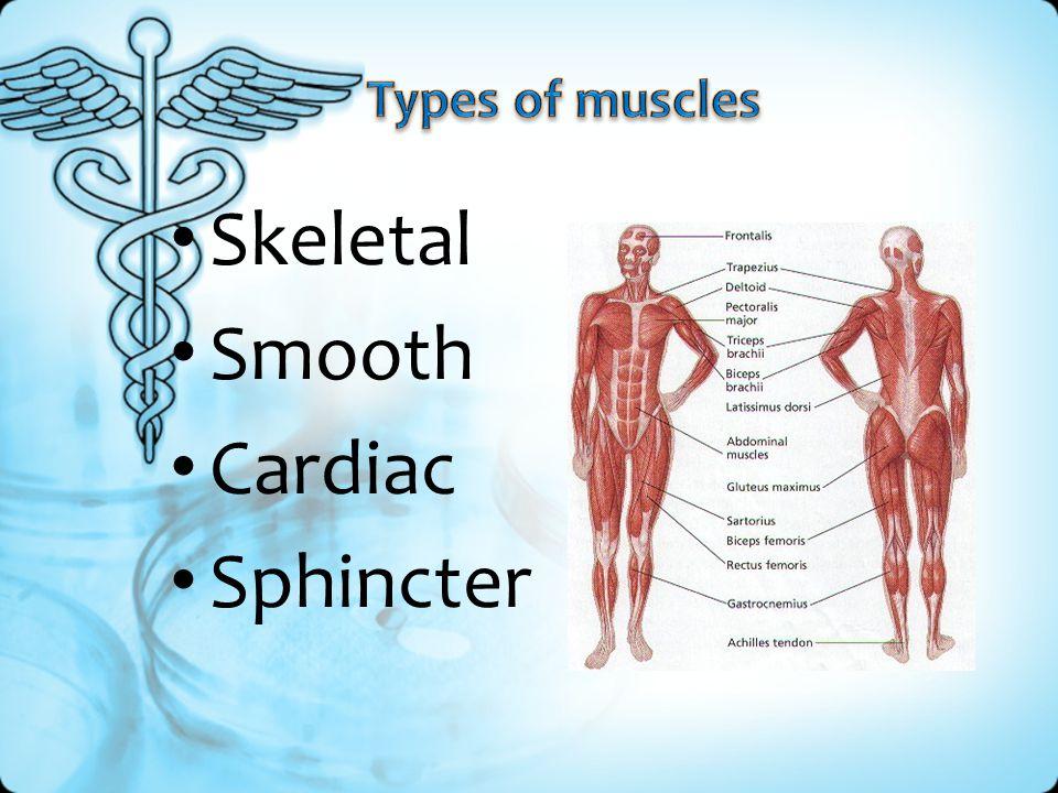 Skeletal Smooth Cardiac Sphincter