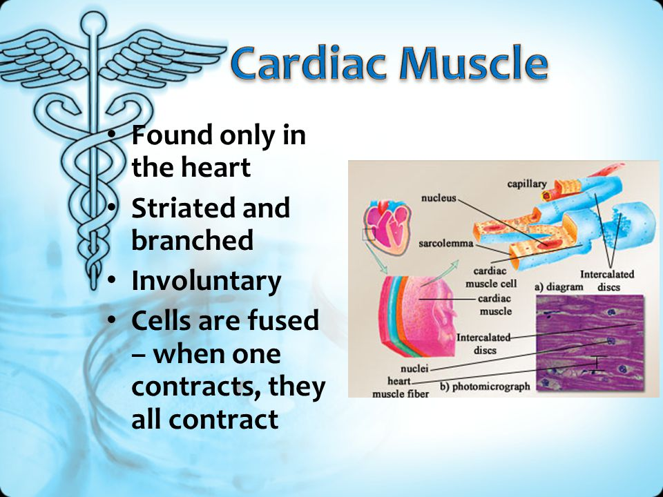 Found only in the heart Striated and branched Involuntary Cells are fused – when one contracts, they all contract