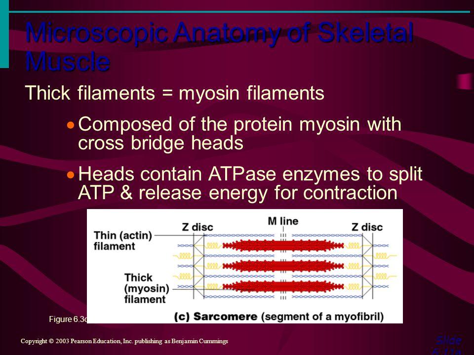 Microscopic Anatomy of Skeletal Muscle Slide 6.11a Copyright © 2003 Pearson Education, Inc. publishing as Benjamin Cummings Thick filaments = myosin f