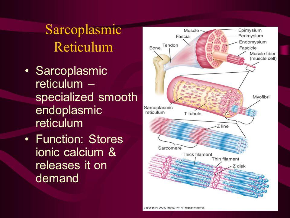 Sarcoplasmic Reticulum Sarcoplasmic reticulum – specialized smooth endoplasmic reticulum Function: Stores ionic calcium & releases it on demand