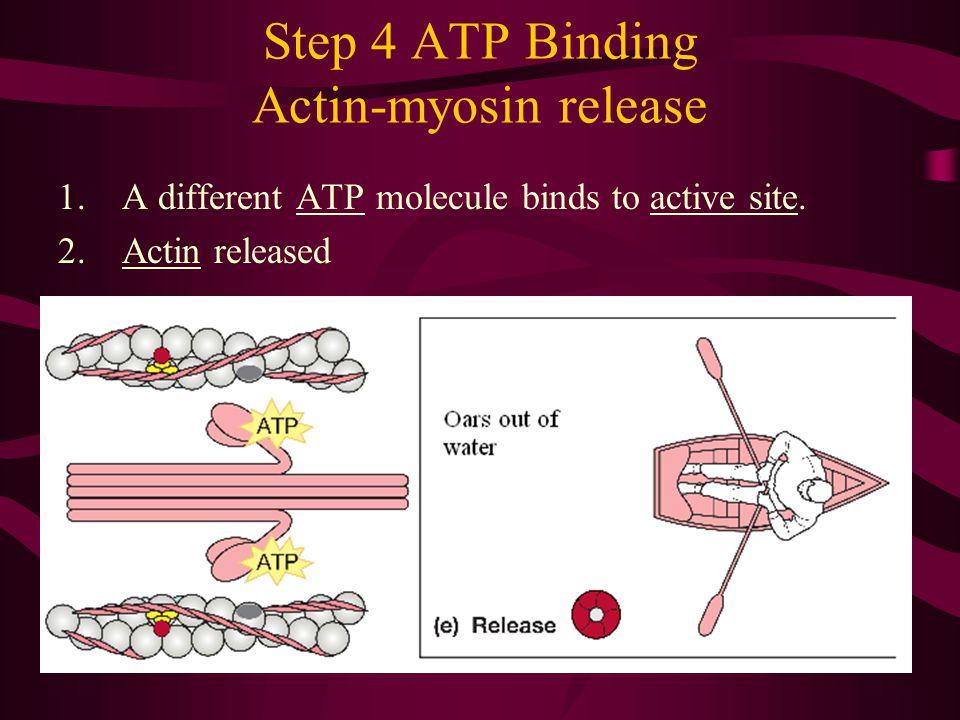 Step 4 ATP Binding Actin-myosin release 1.A different ATP molecule binds to active site. 2.Actin released