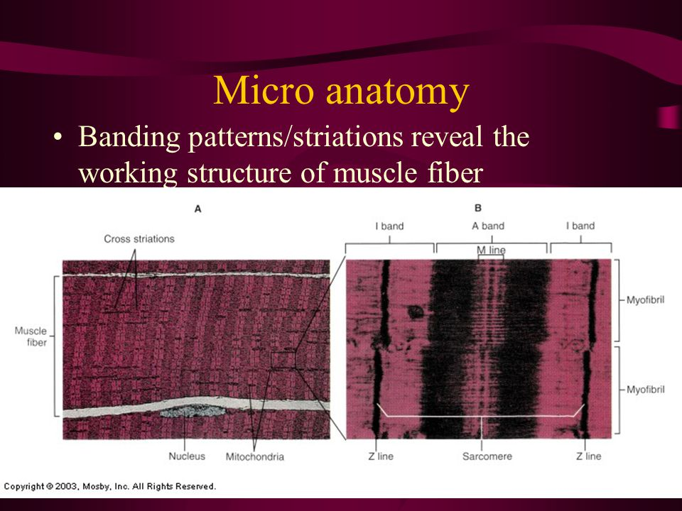 Compare the Muscle Fiber to Pull and Peel Twizzlers How amazing is that?