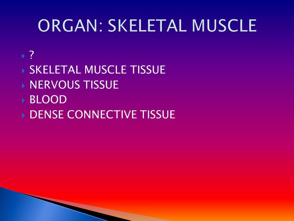    SKELETAL MUSCLE TISSUE  NERVOUS TISSUE  BLOOD  DENSE CONNECTIVE TISSUE