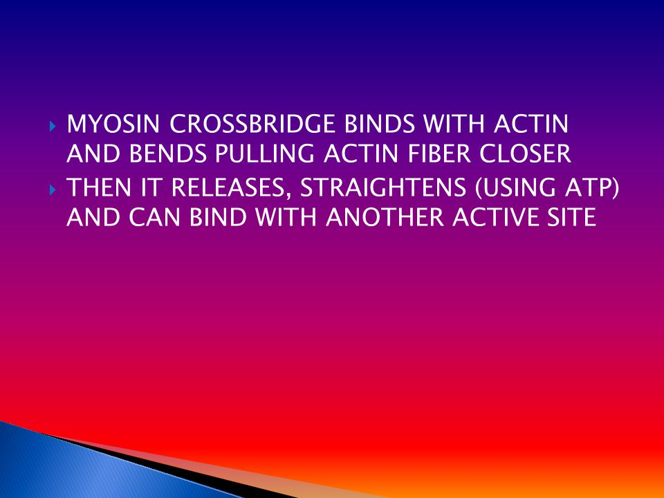  MYOSIN CROSSBRIDGE BINDS WITH ACTIN AND BENDS PULLING ACTIN FIBER CLOSER  THEN IT RELEASES, STRAIGHTENS (USING ATP) AND CAN BIND WITH ANOTHER ACTIVE SITE