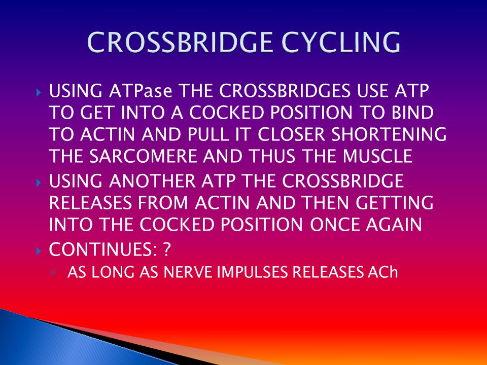 UUSING ATPase THE CROSSBRIDGES USE ATP TO GET INTO A COCKED POSITION TO BIND TO ACTIN AND PULL IT CLOSER SHORTENING THE SARCOMERE AND THUS THE MUSCLE UUSING ANOTHER ATP THE CROSSBRIDGE RELEASES FROM ACTIN AND THEN GETTING INTO THE COCKED POSITION ONCE AGAIN CCONTINUES: .