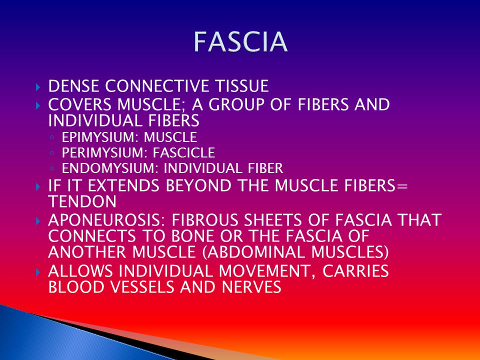 DENSE CONNECTIVE TISSUE  COVERS MUSCLE; A GROUP OF FIBERS AND INDIVIDUAL FIBERS ◦ EPIMYSIUM: MUSCLE ◦ PERIMYSIUM: FASCICLE ◦ ENDOMYSIUM: INDIVIDUAL FIBER  IF IT EXTENDS BEYOND THE MUSCLE FIBERS= TENDON  APONEUROSIS: FIBROUS SHEETS OF FASCIA THAT CONNECTS TO BONE OR THE FASCIA OF ANOTHER MUSCLE (ABDOMINAL MUSCLES)  ALLOWS INDIVIDUAL MOVEMENT, CARRIES BLOOD VESSELS AND NERVES