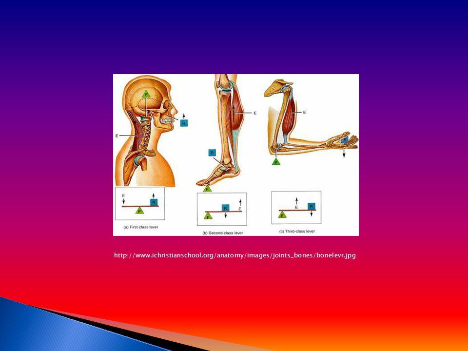 http://www.ichristianschool.org/anatomy/images/joints_bones/bonelevr.jpg
