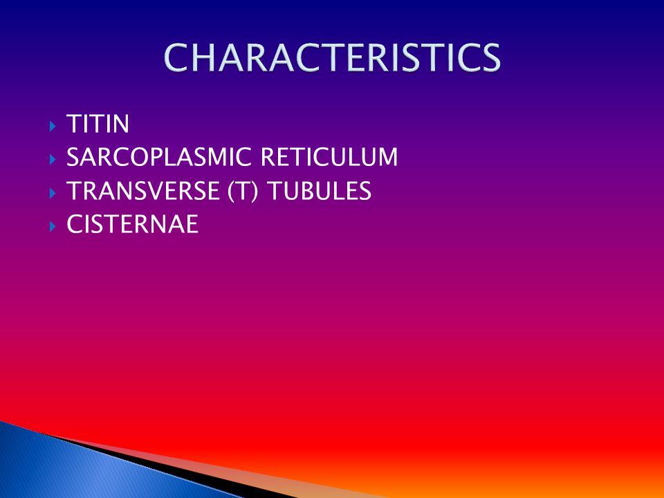  TITIN  SARCOPLASMIC RETICULUM  TRANSVERSE (T) TUBULES  CISTERNAE