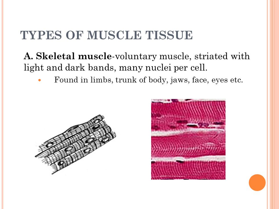 MUSCLE TISSUE Muscle Contraction