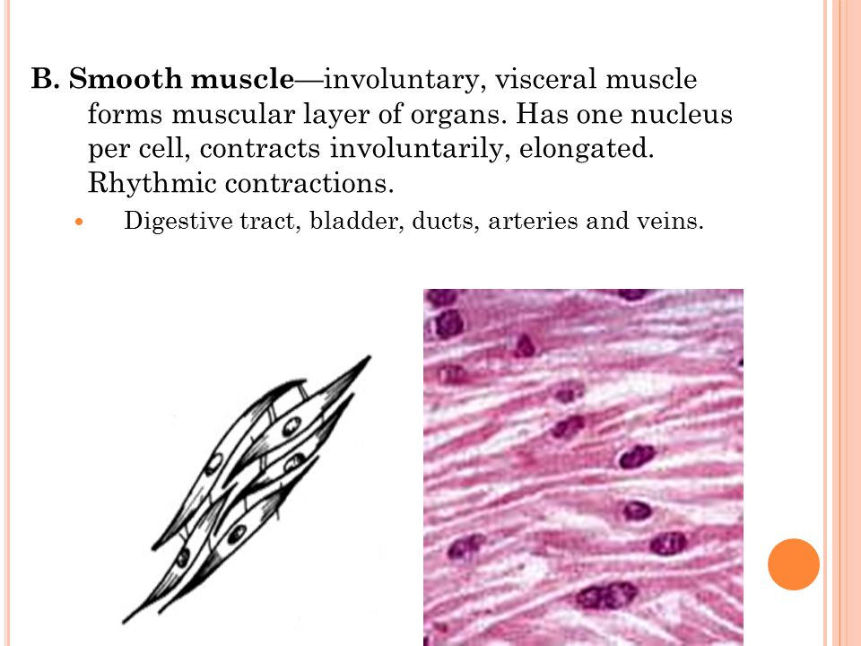 B.Smooth muscle —involuntary, visceral muscle forms muscular layer of organs.