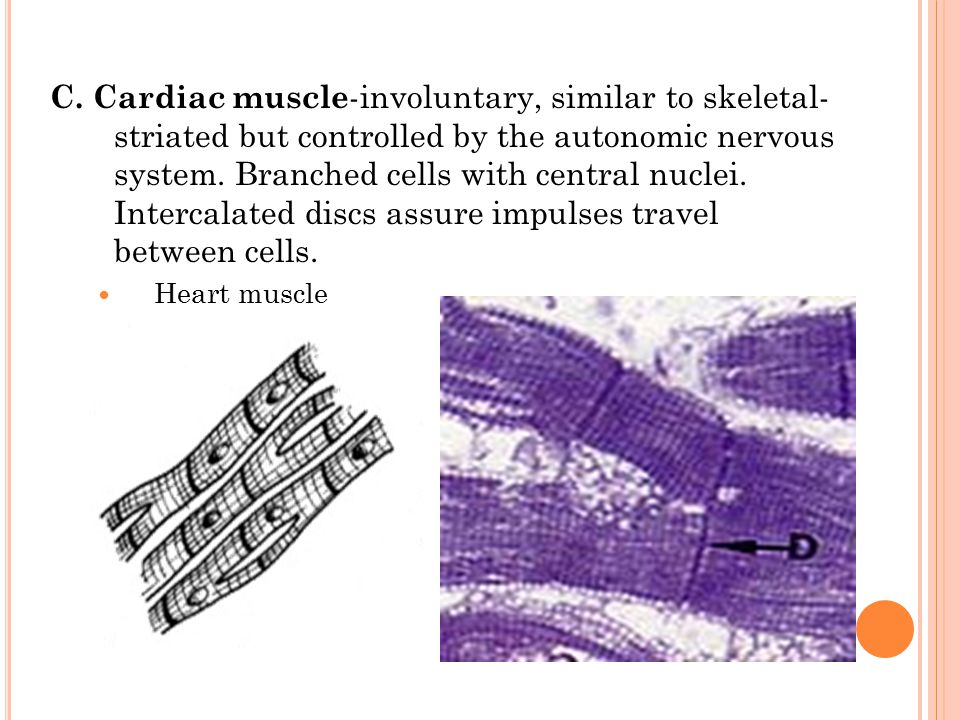 B. Smooth muscle —involuntary, visceral muscle forms muscular layer of organs. Has one nucleus per cell, contracts involuntarily, elongated. Rhythmic