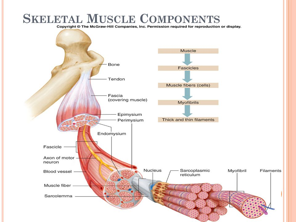 S TEPS OF MUSCLE C ONTRACTION 1.