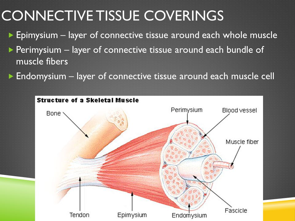 CONNECTIVE TISSUE COVERINGS  Epimysium – layer of connective tissue around each whole muscle  Perimysium – layer of connective tissue around each bu