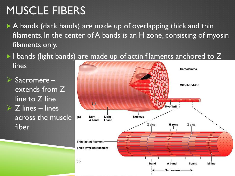 MUSCLE FIBERS  A bands (dark bands) are made up of overlapping thick and thin filaments. In the center of A bands is an H zone, consisting of myosin