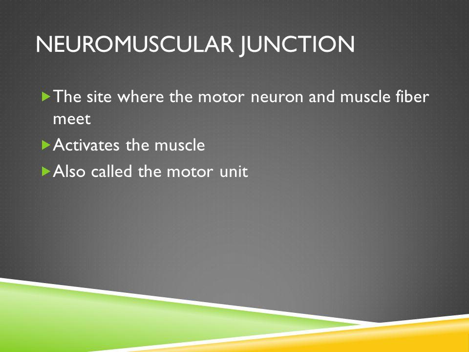 1.Neuron 2. Sarcolemma (or motor end plate) 3. Vesicle 4.