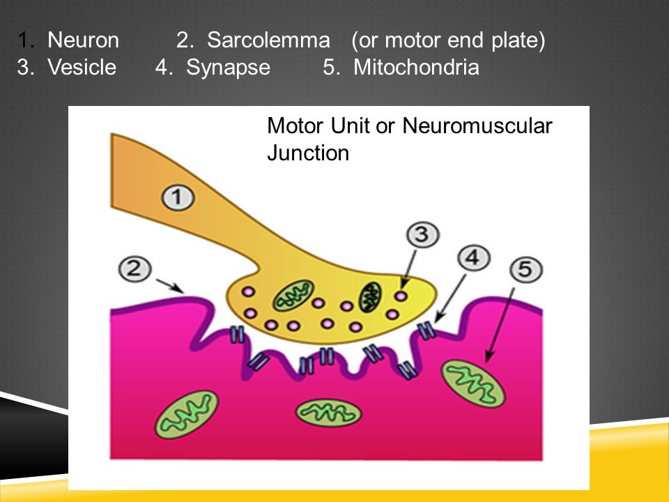 NEUROTRANSMITTERS  Acetylcholine – this neurotransmitter released from the end of the neuron which relays impulses to the muscle cell  Acetylcholinesterase – enzyme that quickly breaks down and removes acetylcholine