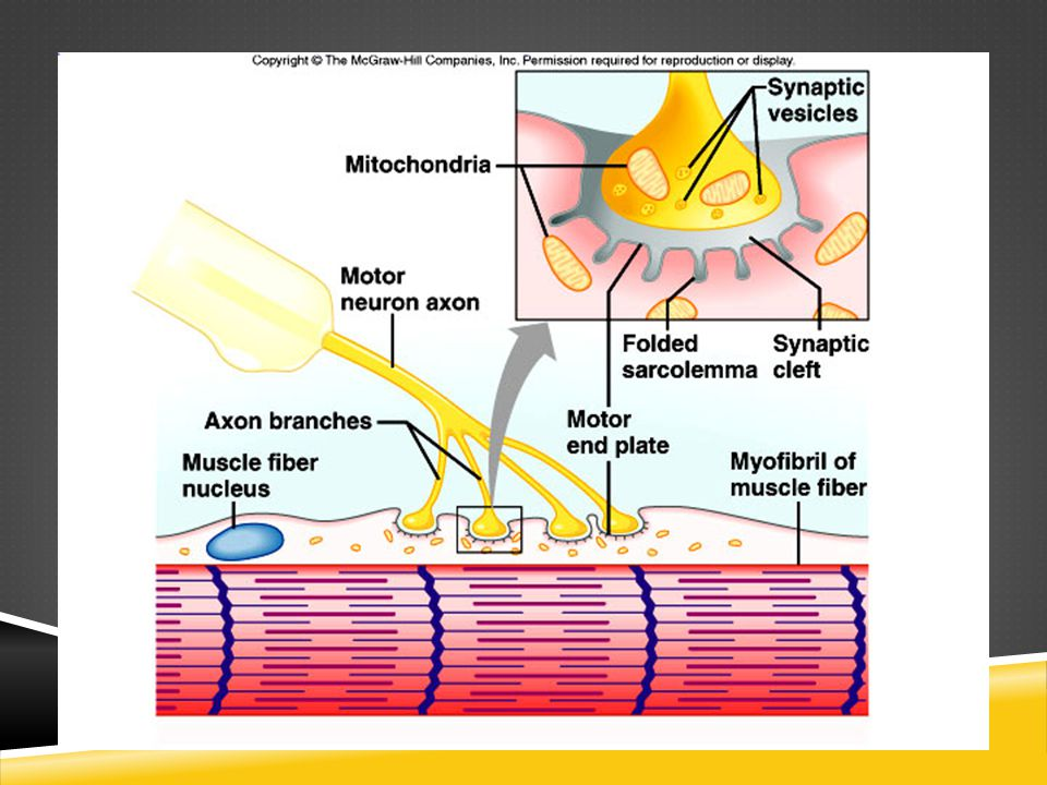 SLIDING FILAMENT THEORY  The theory of how muscle contracts  The contraction of a muscle occurs as the thin filament slides past the thick filaments  Involves five different molecules plus calcium ions  Myosin  Actin  Tropomyosin  Troponin  ATP