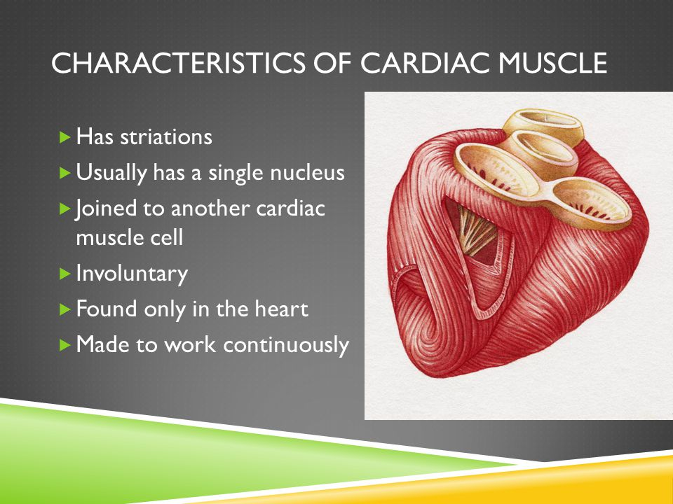 MUSCLES AND MUSCLE FIBERS  Each muscle is an organ comprised of skeletal muscle tissue, connective tissues, nervous tissue, and blood  Muscles are composed of many fibers that are arranged into bundles called fascicles  Muscle fiber = muscle cell