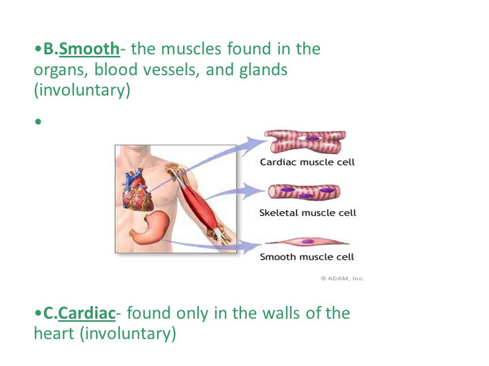 B.Smooth- the muscles found in the organs, blood vessels, and glands (involuntary) C.Cardiac- found only in the walls of the heart (involuntary)