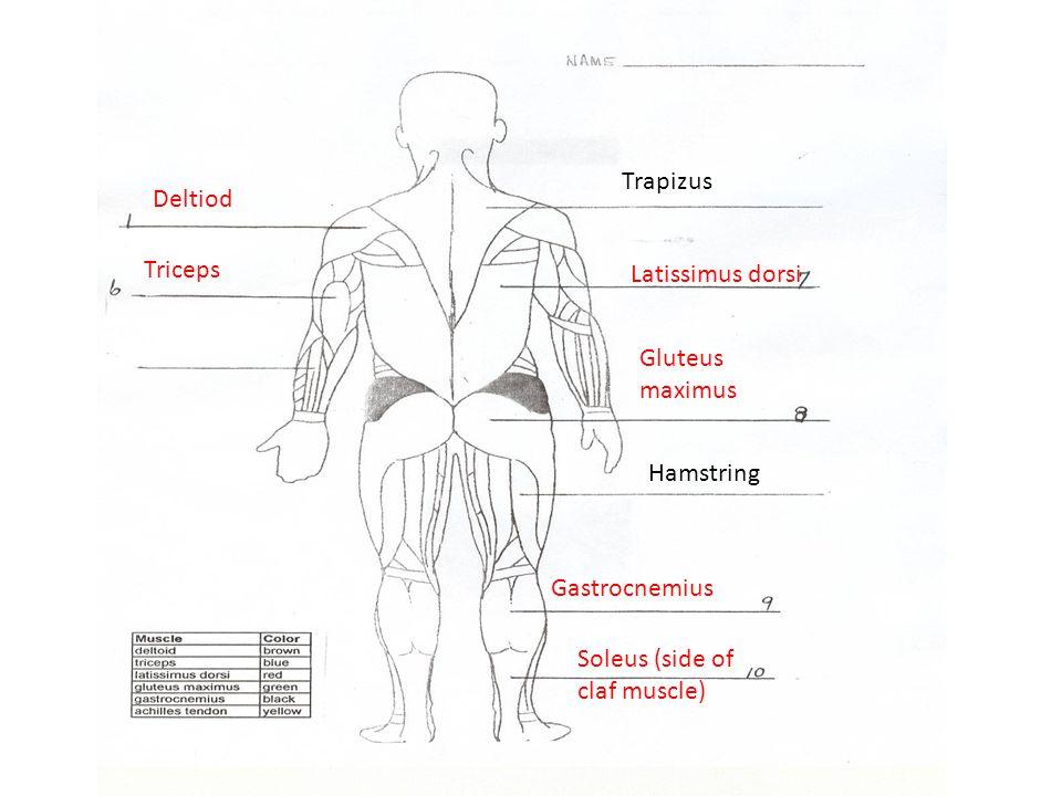 Deltiod Triceps Latissimus dorsi Gluteus maximus Gastrocnemius Soleus (side of claf muscle) Trapizus Hamstring