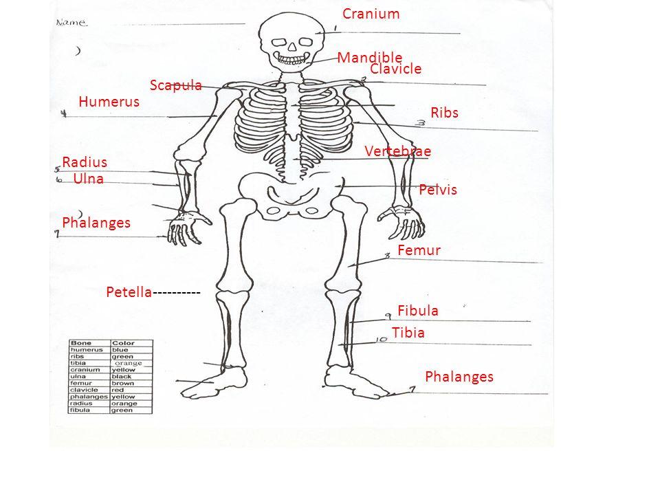 Cranium Clavicle Humerus Ribs Radius Ulna Phalanges Femur Fibula Tibia Phalanges Scapula Mandible Pelvis Vertebrae Petella----------