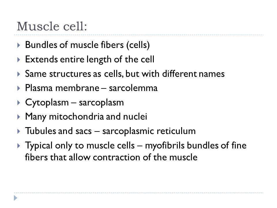 Muscle cell:  Bundles of muscle fibers (cells)  Extends entire length of the cell  Same structures as cells, but with different names  Plasma membrane – sarcolemma  Cytoplasm – sarcoplasm  Many mitochondria and nuclei  Tubules and sacs – sarcoplasmic reticulum  Typical only to muscle cells – myofibrils bundles of fine fibers that allow contraction of the muscle