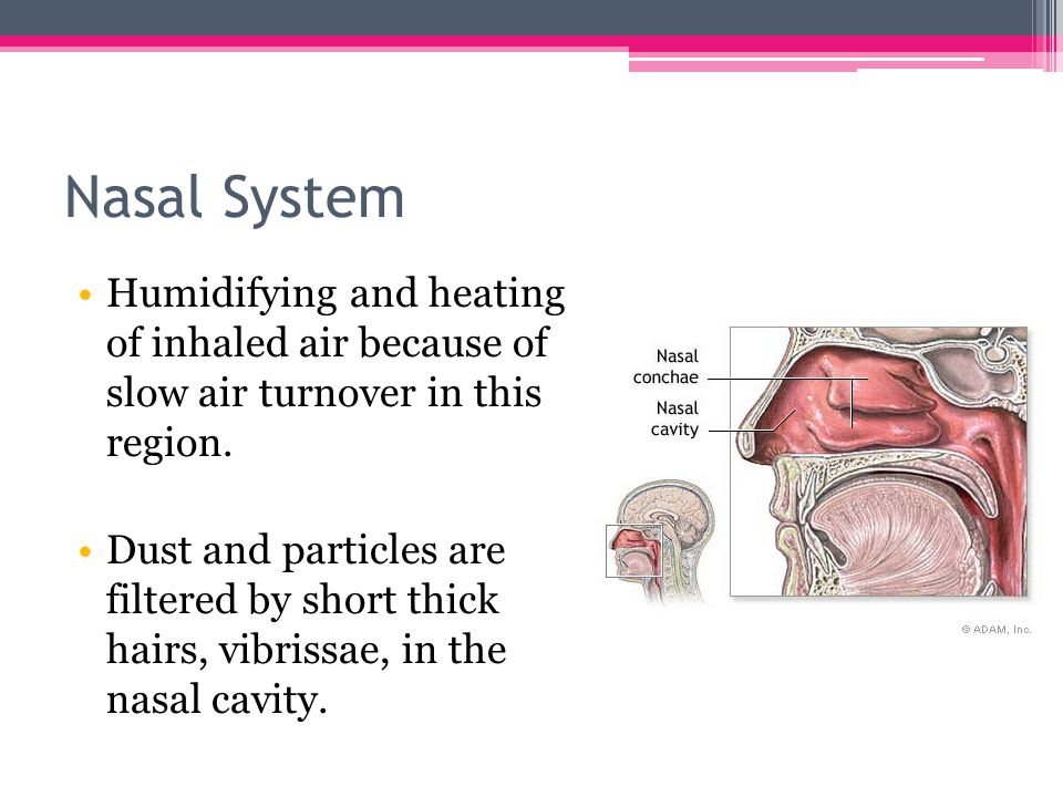 Nasal System Humidifying and heating of inhaled air because of slow air turnover in this region.