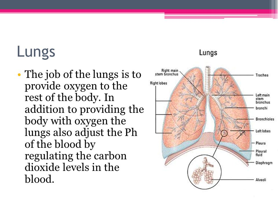 Lungs The job of the lungs is to provide oxygen to the rest of the body.