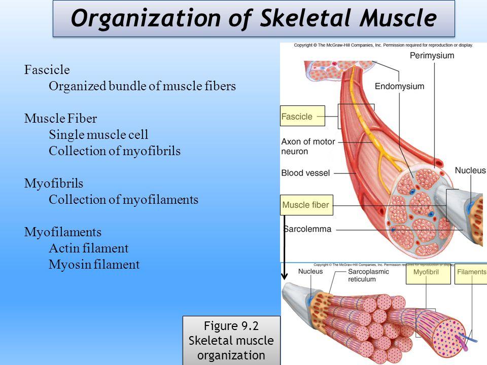 Organization of Skeletal Muscle Figure 9.2 Skeletal muscle organization Figure 9.2 Skeletal muscle organization Fascicle Organized bundle of muscle fi