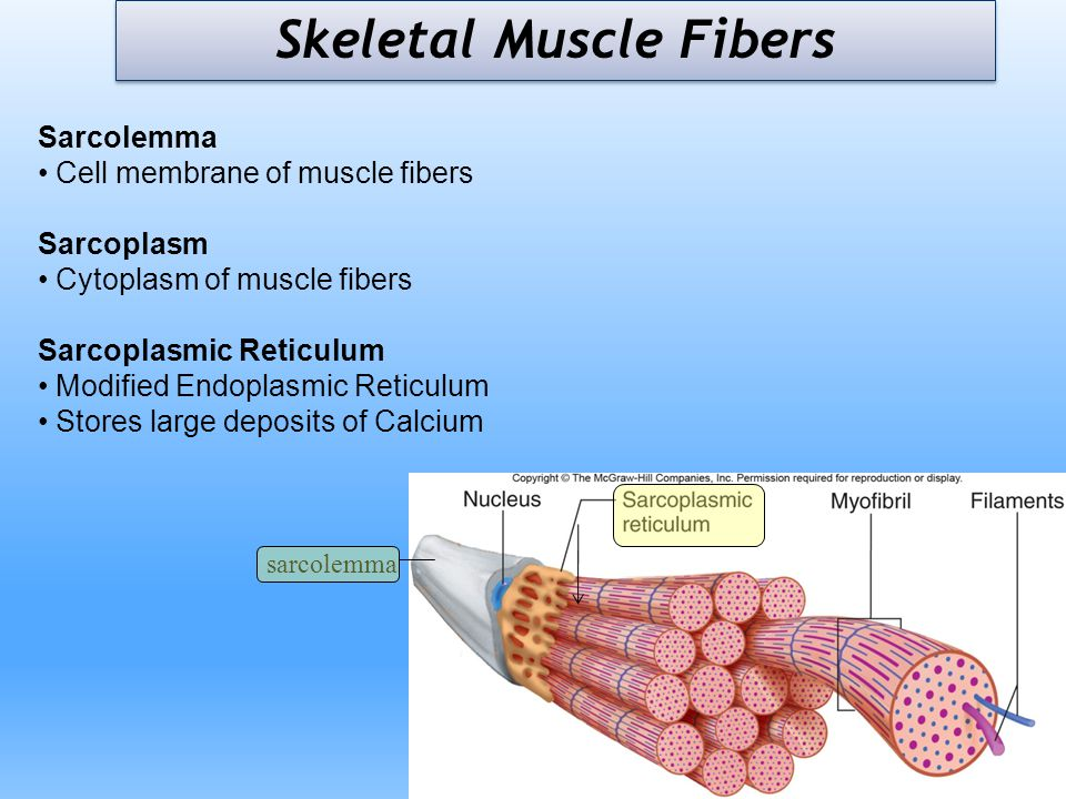 Sarcolemma Cell membrane of muscle fibers Sarcoplasm Cytoplasm of muscle fibers Sarcoplasmic Reticulum Modified Endoplasmic Reticulum Stores large dep