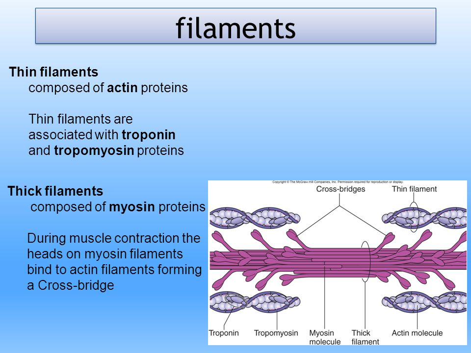 Thick filaments composed of myosin proteins During muscle contraction the heads on myosin filaments bind to actin filaments forming a Cross-bridge Thi