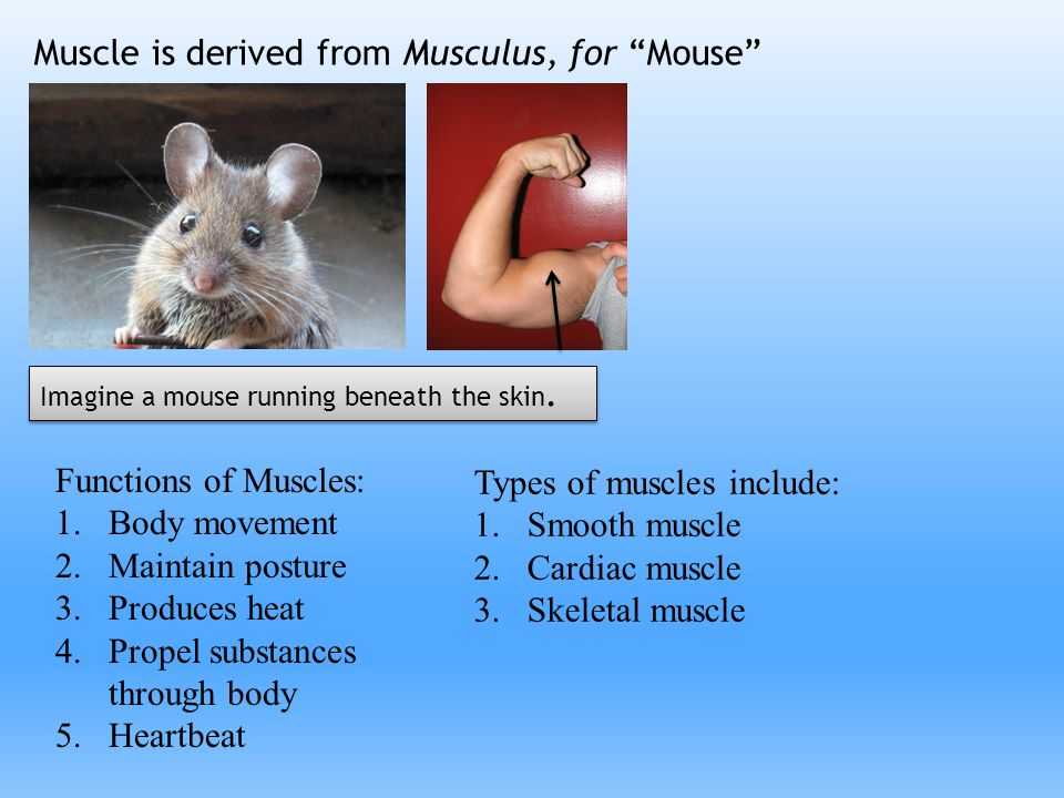 """Muscle is derived from Musculus, for """"Mouse"""" Functions of Muscles: 1.Body movement 2.Maintain posture 3.Produces heat 4.Propel substances through body"""
