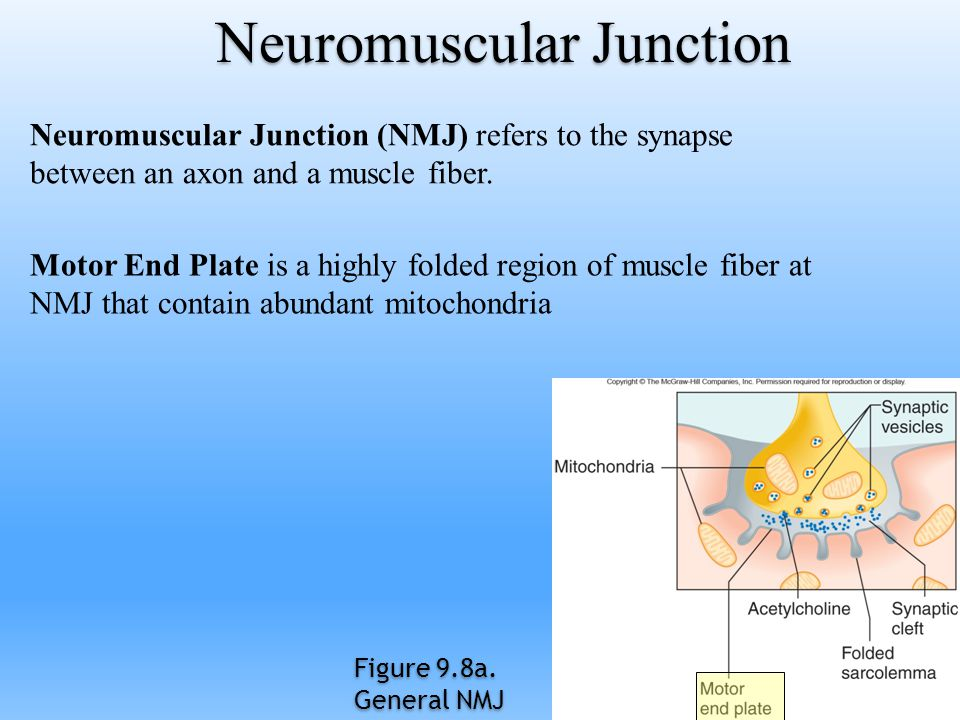 Neuromuscular Junction Neuromuscular Junction (NMJ) refers to the synapse between an axon and a muscle fiber. Motor End Plate is a highly folded regio