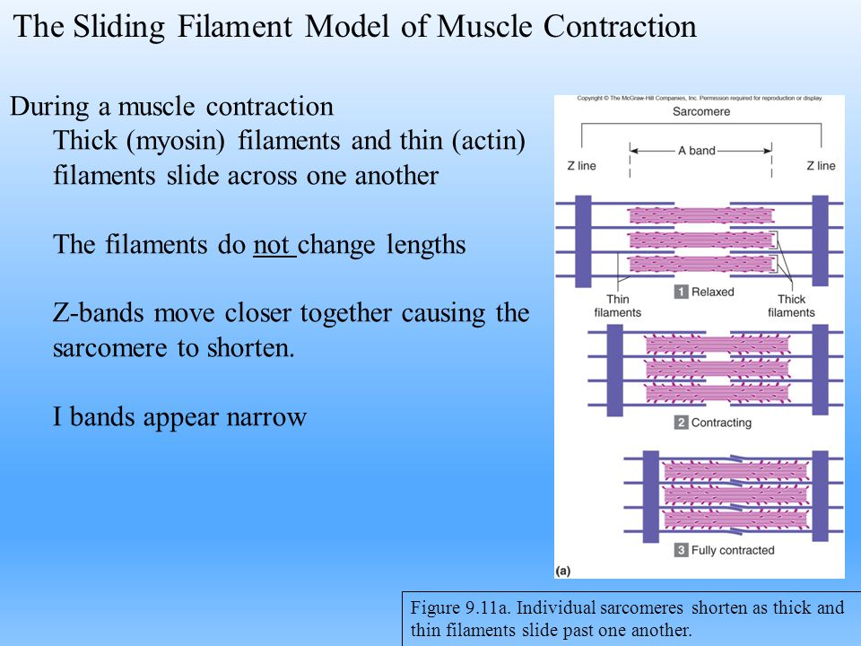 The Sliding Filament Model of Muscle Contraction Figure 9.11a. Individual sarcomeres shorten as thick and thin filaments slide past one another. Durin