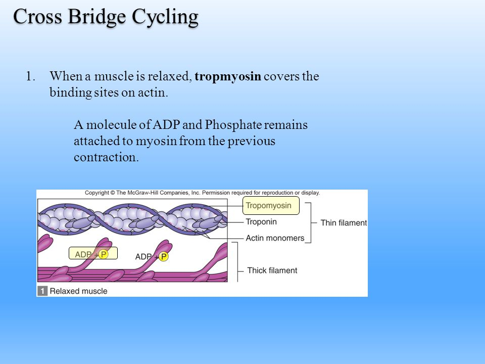 Cross Bridge Cycling 1.When a muscle is relaxed, tropmyosin covers the binding sites on actin. A molecule of ADP and Phosphate remains attached to myo