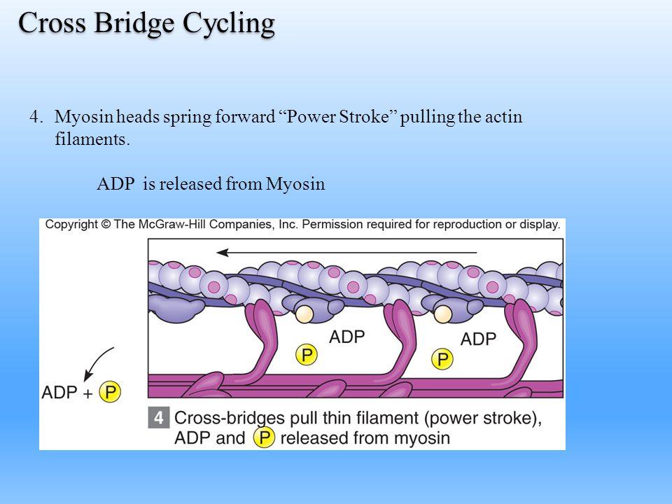 "4.Myosin heads spring forward ""Power Stroke"" pulling the actin filaments. ADP is released from Myosin Cross Bridge Cycling"
