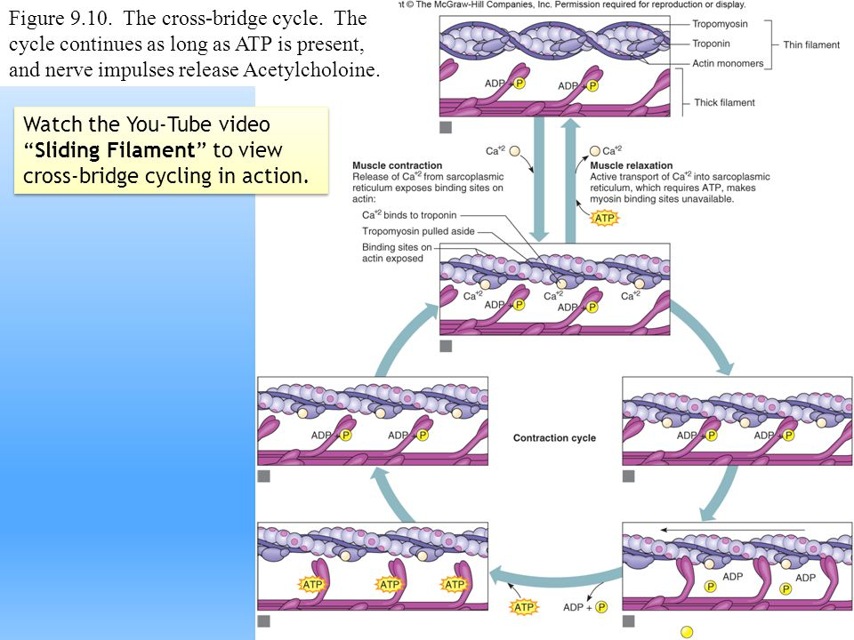 Figure 9.10. The cross-bridge cycle. The cycle continues as long as ATP is present, and nerve impulses release Acetylcholoine. Watch the You-Tube vide