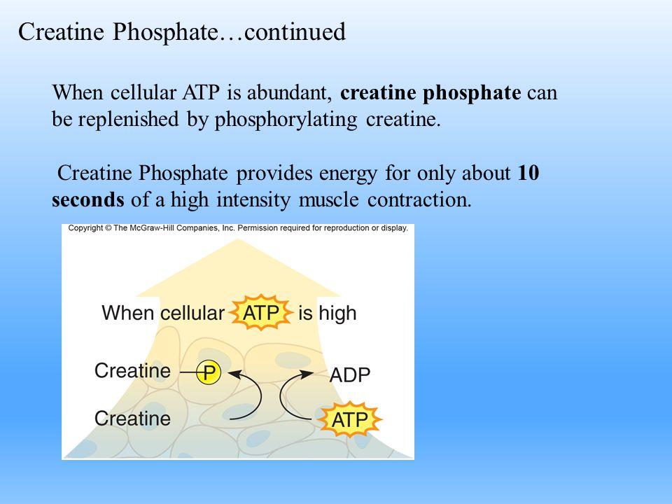 Creatine Phosphate…continued When cellular ATP is abundant, creatine phosphate can be replenished by phosphorylating creatine. Creatine Phosphate prov