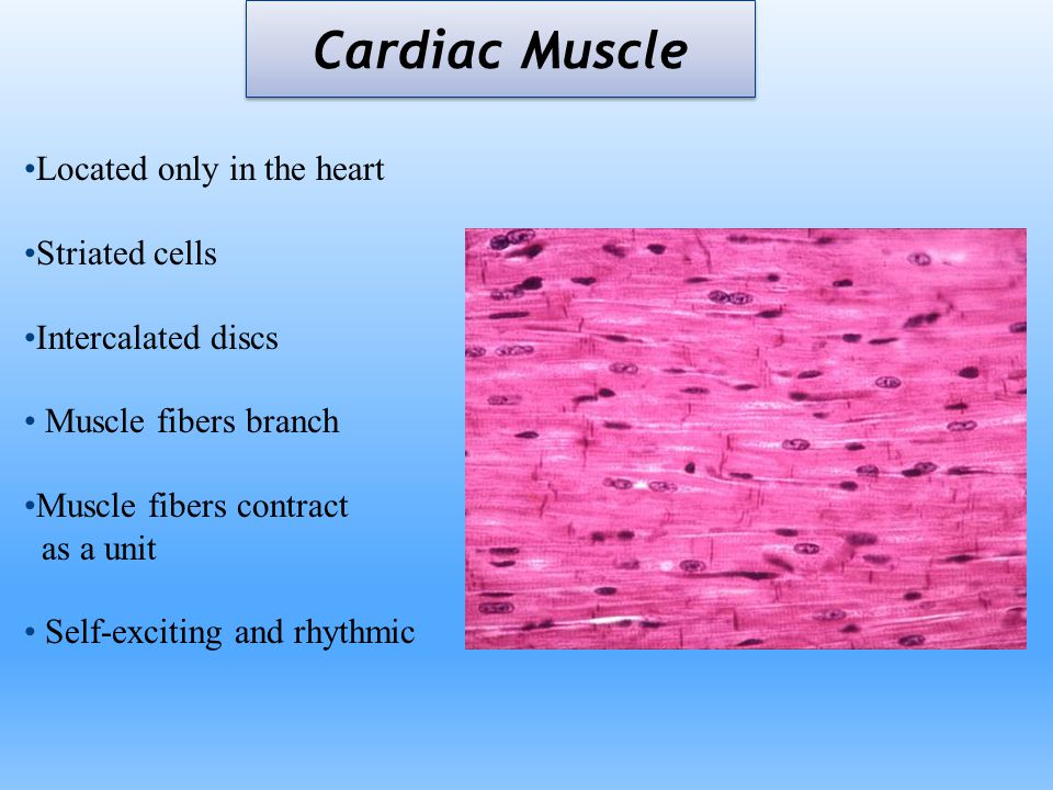 Cardiac Muscle Located only in the heart Striated cells Intercalated discs Muscle fibers branch Muscle fibers contract as a unit Self-exciting and rhy