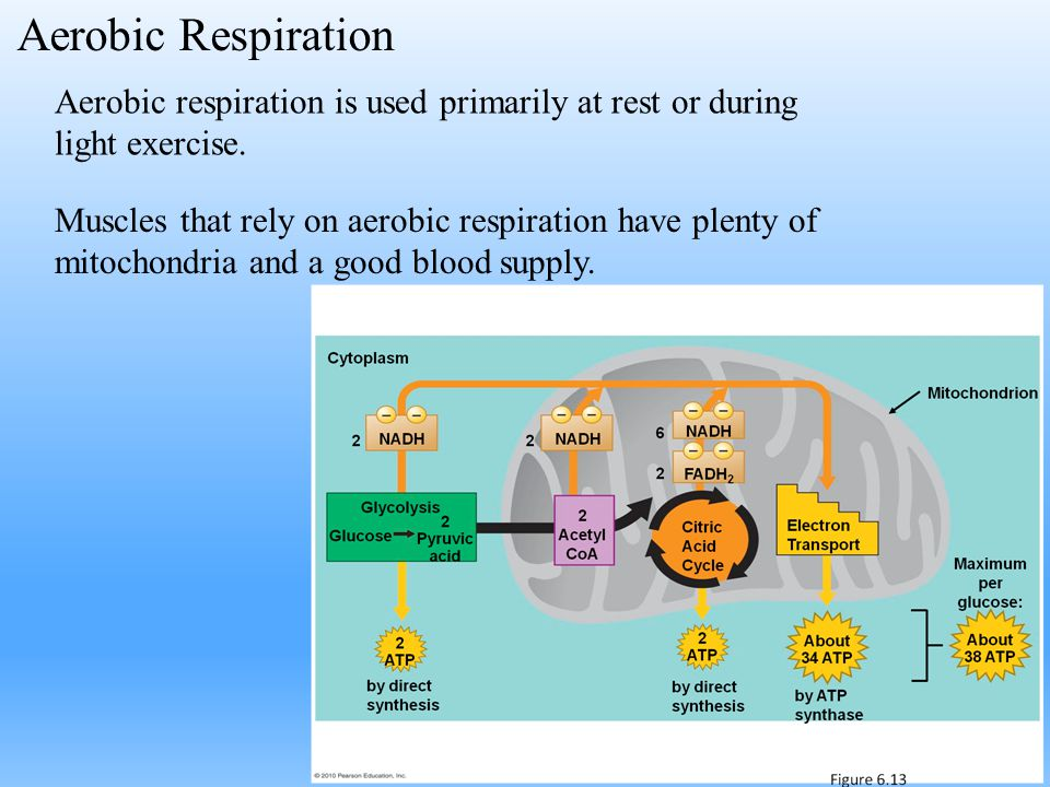 Aerobic respiration is used primarily at rest or during light exercise. Muscles that rely on aerobic respiration have plenty of mitochondria and a goo