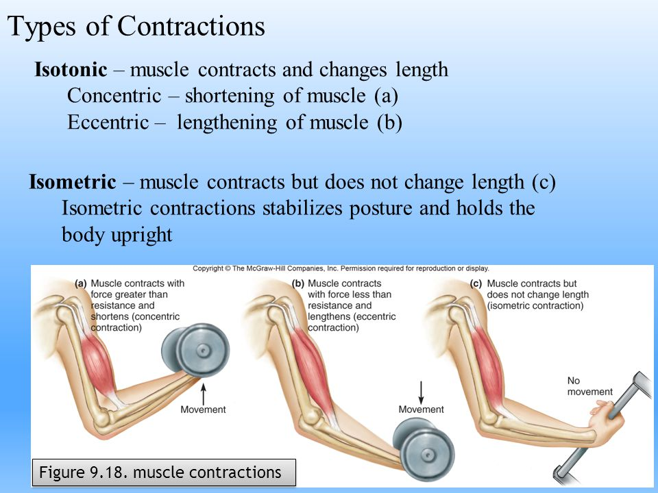 Types of Contractions Isotonic – muscle contracts and changes length Concentric – shortening of muscle (a) Eccentric – lengthening of muscle (b) Isome